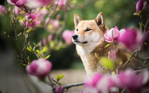 Picture look, face, flowers, branches, nature, portrait, dog, spring, pink, flowering, bokeh, Magnolia, Shiba inu, Shiba