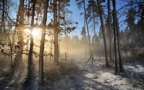 Wallpaper winter, frost, forest, leaves, rays, light, snow, trees, branches, fog, trunks, morning, frost, haze, pine, ...
