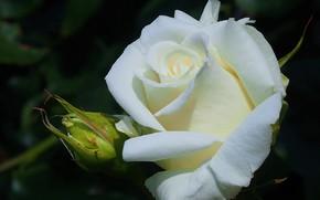 Picture white, macro, rose