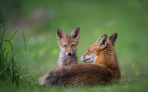 Picture language, grass, look, nature, baby, red, Fox, lies, sitting, cub, green background, muzzle, Fox, Fox, ...