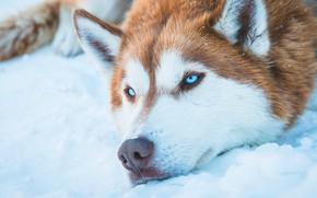 Picture dog, blue eyes, snow, animal, Husky, fur, Siberian Husky, snout