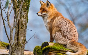 Picture look, branches, pose, tree, moss, Fox, tail, trunk, profile, red, log, sitting, blue background, wildlife, …