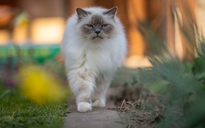 Picture cat, cat, look, pose, garden, muzzle, walk, path, bokeh, ragdoll, unhappy