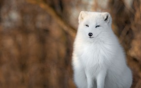 Picture winter, white, snow, nature, sitting, Fox, blurred background, odd-eyed