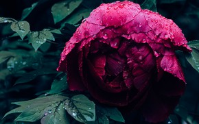 Picture flower, leaves, drops, close-up, the dark background, petals, Bud, Burgundy, peony
