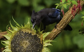 Picture look, bird, sunflower, seeds