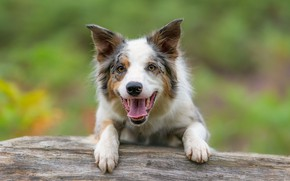 Picture look, face, joy, background, dog, The border collie
