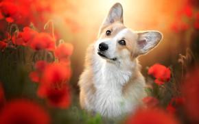 Picture look, flowers, Maki, portrait, dog, blur, face, Welsh Corgi