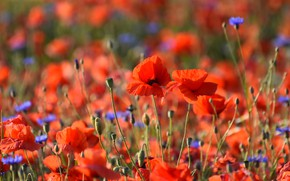 Picture flowers, background, bright, Maki, red, al, a lot, poppy field