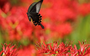 Picture the sun, flowers, butterfly, Lily, red, bokeh
