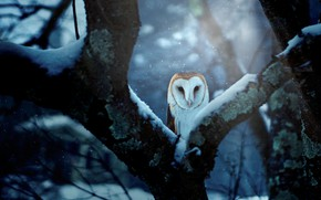 Picture winter, forest, snow, branches, blue, nature, background, tree, owl, bird, trunk, Peeps, the barn owl