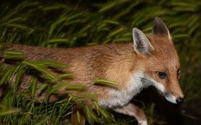 Picture look, face, the dark background, portrait, Fox, ears
