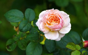 Picture flower, leaves, pink, rose, orange, garden, Bud, two-tone, green background
