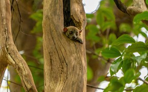 Picture look, tree, foliage, baby, lemur, animal, cub