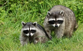 Picture grass, pair, raccoon, two, raccoons