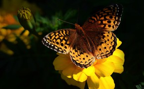 Picture flower, macro, yellow, the dark background, butterfly