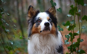 Picture forest, face, leaves, portrait, dog, puppy, ivy, the border collie, odd-eyed