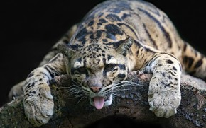 Picture language, face, relax, paws, wild cat, chill, Clouded leopard