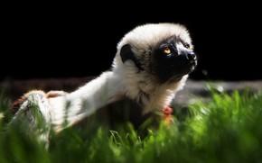 Picture grass, look, face, light, portrait, lemur, black background, wildlife