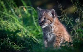 Picture summer, grass, look, light, nature, background, portrait, plants, baby, lynx, face, sitting, wild cat, bokeh, …