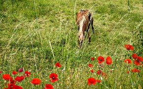Picture flowers, horse, horse, Maki, meadow, grazing