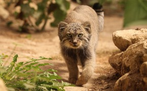 Picture look, nature, sneaks, manul