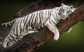 Picture white, look, tiger, tree, branch, lies