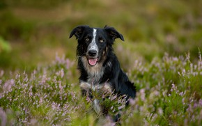 Picture look, dog, bokeh, Heather, The border collie
