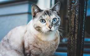 Picture cat, cat, look, face, background, wall, portrait, blue eyes, sitting, spotted