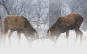 Picture winter, forest, snow, trees, branches, pose, fog, rendering, fight, deer, pair, haze, deer, Blizzard, fight, …