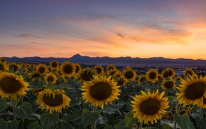 Picture field, summer, sunflowers, flowers, mountains, the evening