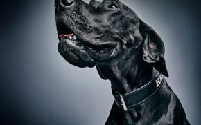 Picture face, background, portrait, dog, collar
