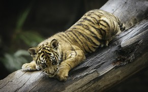 Picture tree, tiger, playful