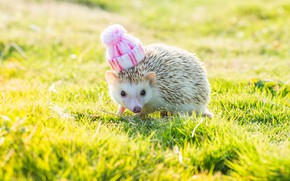 Picture white, summer, grass, look, light, background, glade, muzzle, hedgehog, walk, cap, hedgehog, bokeh, knitted, hedgehog, …