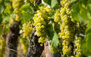 Picture Ripe, Fruit, Grapes, Sweet, Vine