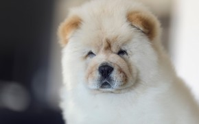 Picture portrait, dog, puppy, face, doggie, Chow