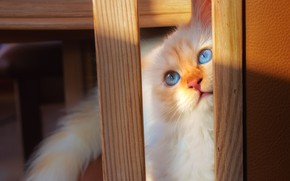 Picture cat, cat, look, light, kitty, Board, furniture, portrait, fluffy, red, shadows, legs, kitty, blue eyes, …