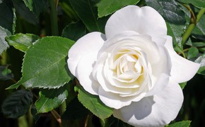 Picture leaves, rose, white rose