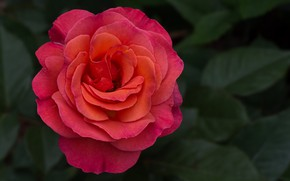 Picture background, rose, beautiful