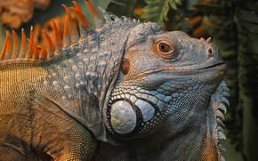 Wallpaper animals, portrait, lizard, iguana, bright iguana