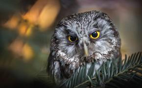 Wallpaper eyes, look, light, close-up, branches, nature, grey, background, owl, bird, portrait, face, needles, coniferous, bokeh, ...