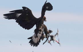 Picture Bird, Feathers, Eagle, Wings, Claws, Drone, DJI Phantom