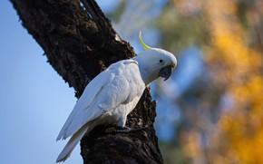Picture white, tree, bird, parrot, bokeh, cockatoo