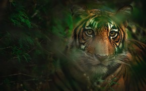 Picture look, face, leaves, tiger, bokeh