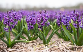 Picture field, spring, farm, hyacinths