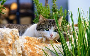 Picture cat, grass, cat, look, face, nature, stones, grey, portrait, lies, striped, green eyes, bokeh