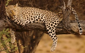 Picture tree, stay, relax, paws, leopard, tail, snag, wild cat