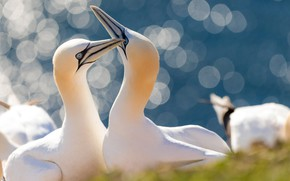 Picture birds, glare, a couple, The Northern Gannet