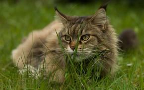 Picture cat, summer, grass, cat, look, face, nature, grey, fluffy, lies, Maine Coon