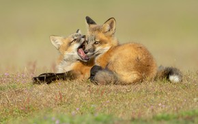 Picture grass, background, glade, the game, bite, mouth, pair, Fox, kids, a couple, two, cubs, Fox, …